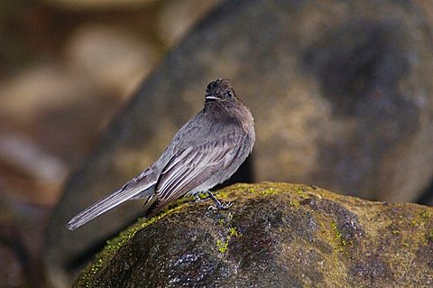 Black Phoebe (Sayornis nigricans), adult perched on rock, Bosque de Paz, Central Valley, Costa Rica, Central America