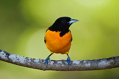 Baltimore Oriole (Icterus galbula), male, Uvalde County, Hill Country, Texas, USA