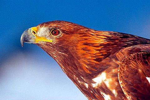 Golden Eagle (Aquila chrysaetos), North Tyrol, Austria, Europe