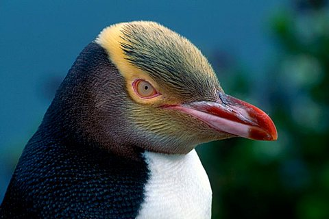 Yellow-eyed Penguin or Hoiho (Megadyptes antipodes), South Island, New Zealand