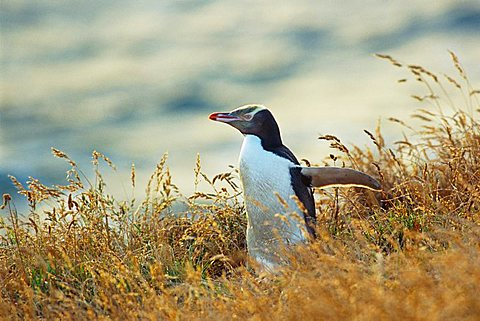 Yellow-eyed Penguin (Megadyptes antipodes), South Island, New Zealand