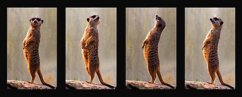 Meerkats, collage, four individual pictures, Stuttgart, Germany, Europe