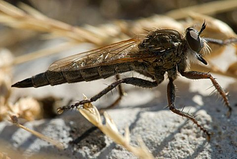 Robber Fly (Asilidae), Grasse, Alpes-Maritimes, France, Europe