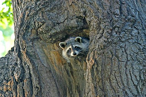 Raccoon is looking out of his tree cave in a old oak tree