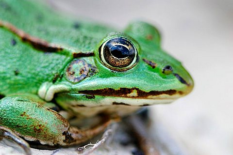 Portrait of a green frog - 832-31693