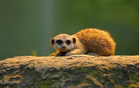 young meerkat (Suricata suricatta)
