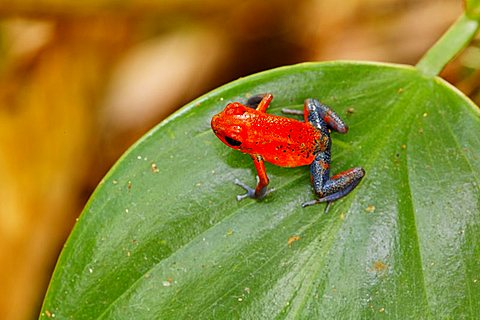 "Red and Blue ""Blue Jeans"" poison dart frog, Strawberry Poison Dart Frog, Poisoned dart frog, poison arrow frog, Bluejeans frog, Dendrobates pumilio, Costa Rica - 832-33122"