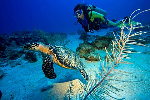 Hawksbill Turtle (Eretmochelys imbricata) and scuba diver, Caribbean, Honduras, Central America