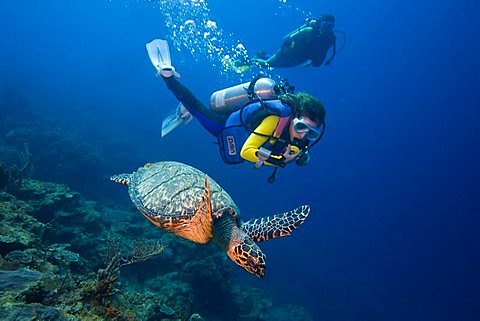 Young female scuba diver observing a Hawksbill Turtle (Eretmochelys imbricata), Caribbean, Honduras, Central America