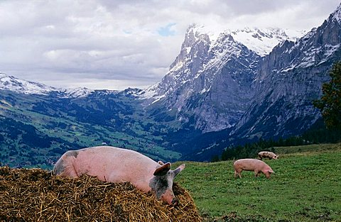 Lucky pig on a dunghill near Grindelwald, Switzerland