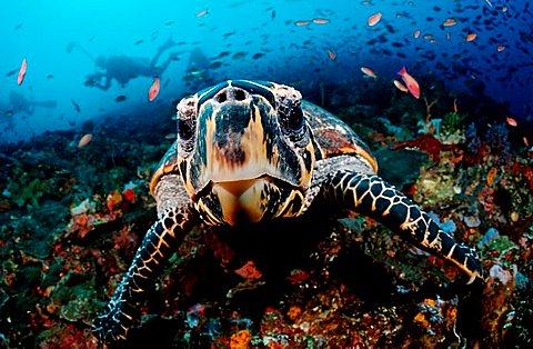 Curious Hawksbill turtle (Eretmochelys imbricata), Komodo, Indo-Pacific, Indonesia, Southeast Asia, Asia