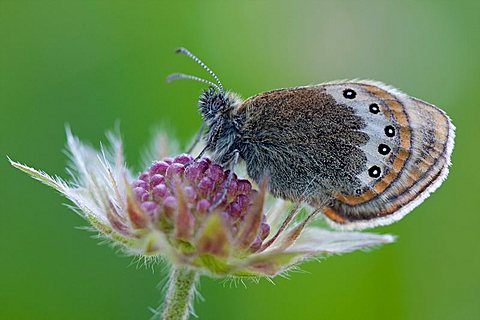 Alpine Heath (Coenonympha gardetta)