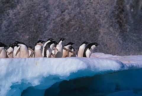 Adelie penguins (Pygoscelis adelieae) on an iceberg, Deception Island, Antarctic