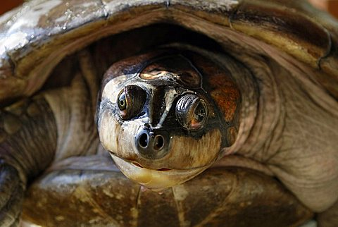 Head of a Yellow-spotted River Turtle (Port: Tartaruga, Podocnemis unifilis), Amazon Bazin, Brazil
