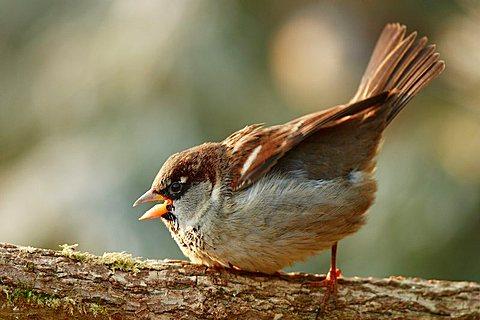 House Sparrow (Passer domesticus) - 832-34878