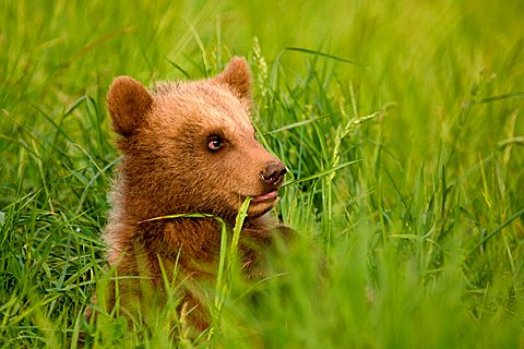 European Brown Bear (Ursus arctos) cub in the grass, Poing Zoo, Munich, Bavaria, Germany, Europe