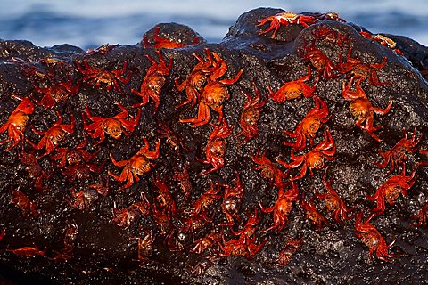 Sally Lightfoot Crabs (Grapsus grapsus), Bartolome Island, Galapagos Islands, UNESCO World Heritage Site, Ecuador