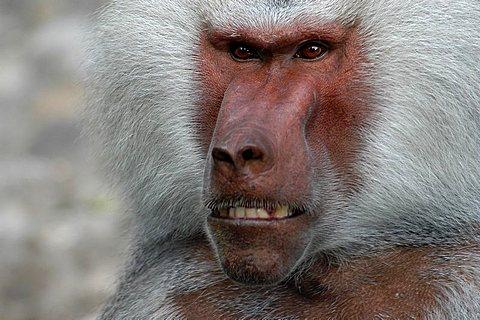 baboon portrait (Papio hamadryas)