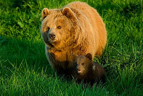 European Brown Bear (Ursus arctos arctos) mother and young animal