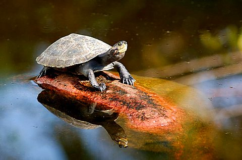 Yellow-spotted Amazon River Turtle Podocnemis unifilis Brazil