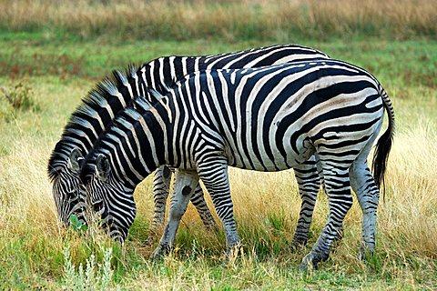 Plains Zebra Equus burchelli Moremi National Park Botswana