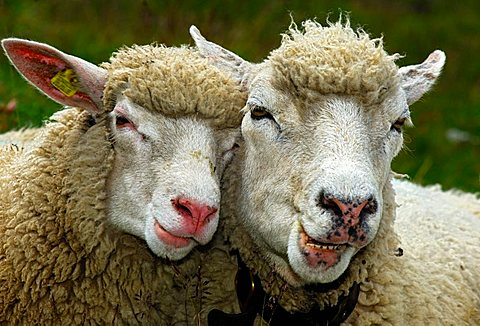 Two sheep in partnership - 832-35803
