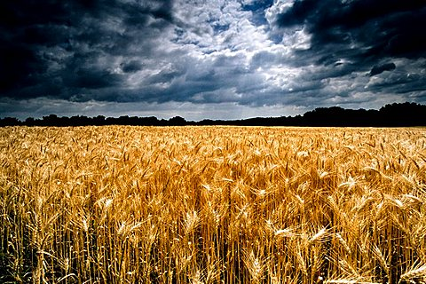 Wheat field ripe for harvest, grain field, dramatic clouds, thunderclouds