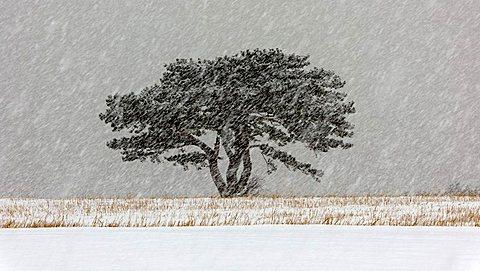 European Black Pine (Pinus nigra) in a snowstorm, Lower Austria, Austria, Europe - 832-36298