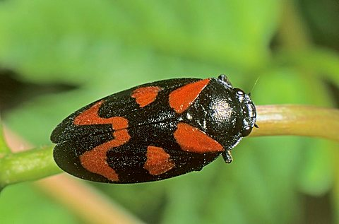 Red-and-black Froghopper beetle (Cercopis vulnerata)