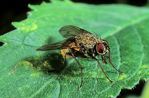Large housefly (Musca domestica)