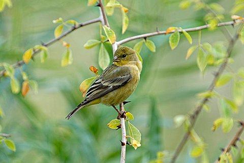 Lesser Goldfinch or Dark-backed Goldfinch (Carduelis psaltria), young bird, Park Living Desert, Palm Desert, Southern California, California, USA