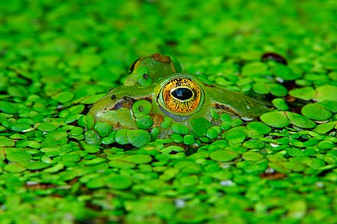 Edible frog (Rana esculenta) camouflaged in duckweed - 832-36999