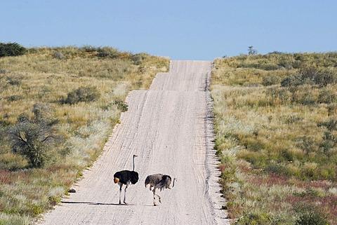 Two ostrich on gravelroad Kgalagadi Transfrontier Park, Kalahari Gemsbok Park, Botswana and South Africa.
