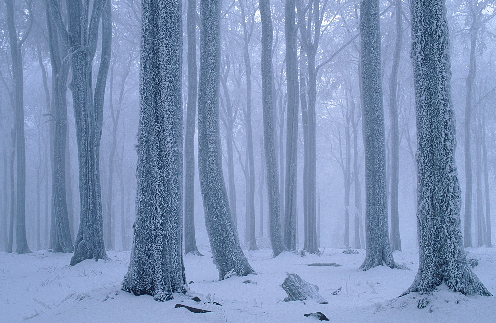 Beech forest in winter, Hessen, Germany / (Fagus sylvatica)