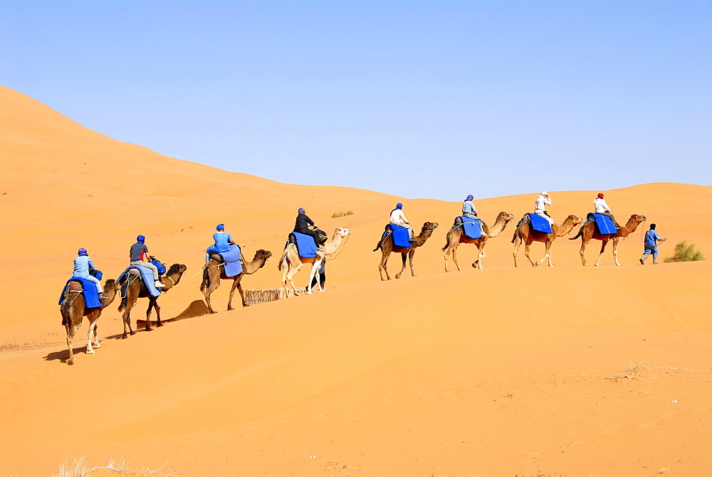 Group of tourists rides on camels one after another over a sanddune Erg Chebbi Merzouga Morocco