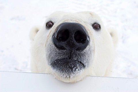 Polar bear (Ursus maritimus) looking over the railing of a Tundra Buggy, Churchill, Manitoba, Canada