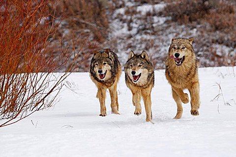 3 Wolves (Canis lupus) running through snow, Montana, USA