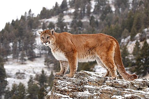 Cougar (Felis concolor), on a rock, Montana, USA