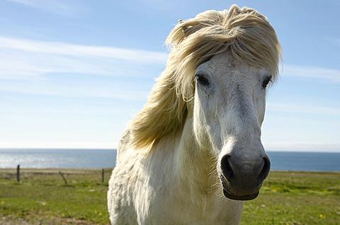Icelandic horse or pony, Norðurland vestra, Northwest Iceland, Iceland, Europe