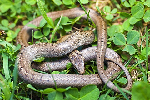 Smooth snake (Coronella austriaca, Oligodon semicinctus, Simotes semicinctus)