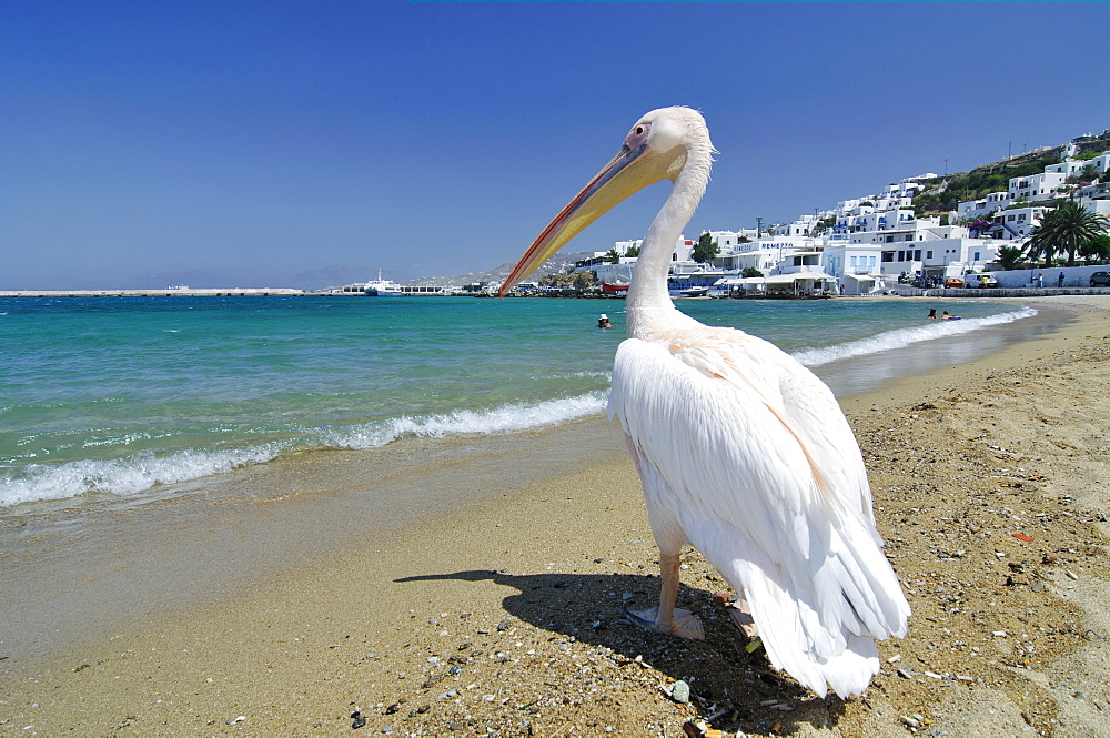 "Famous tourist attraction, pelican ""Jorgos"" on the beach in front of the turquoise sea, Mykonos, Cyclades, Greece, Europe"