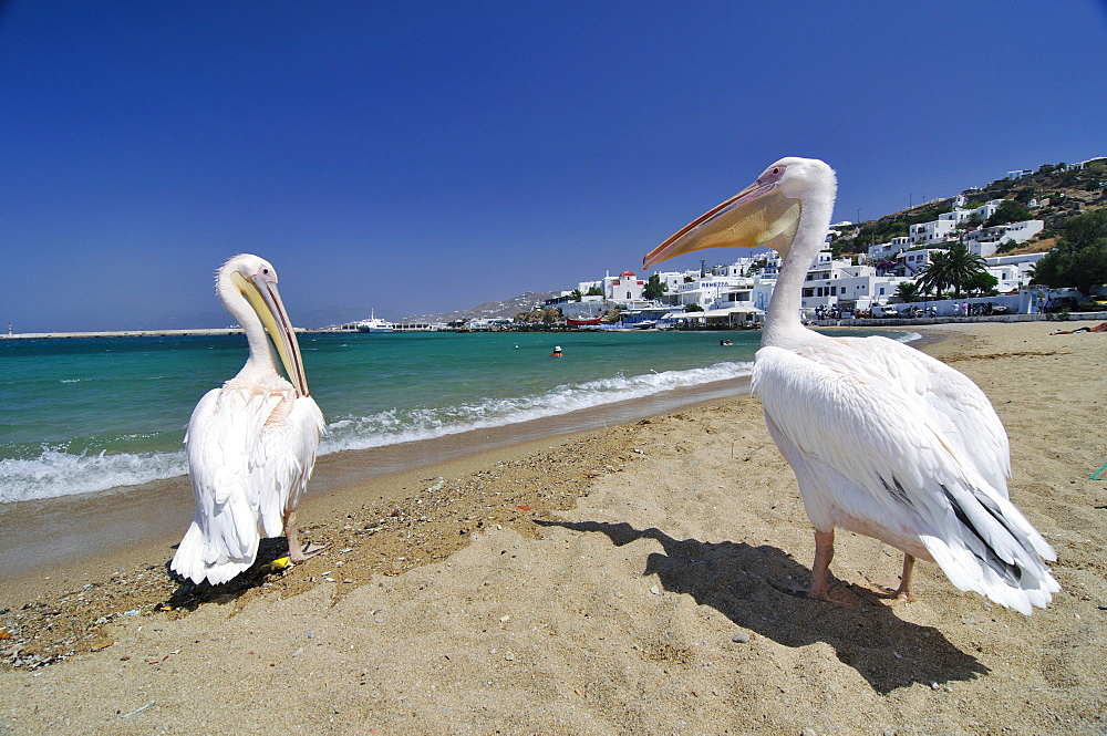 Famous tourist attraction, two pelicans on the beach in front of the turquoise sea, Mykonos, Cyclades, Greece, Europe