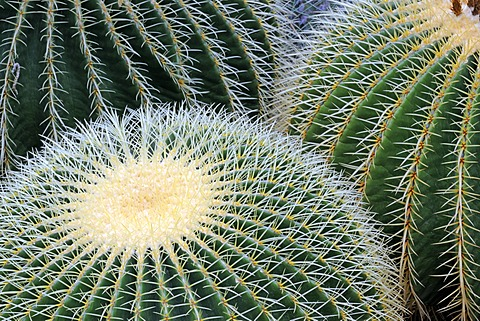 Golden Barrel Cactus or Mother-in-Law's Cushion (Echinocactus grusonii), Mexico