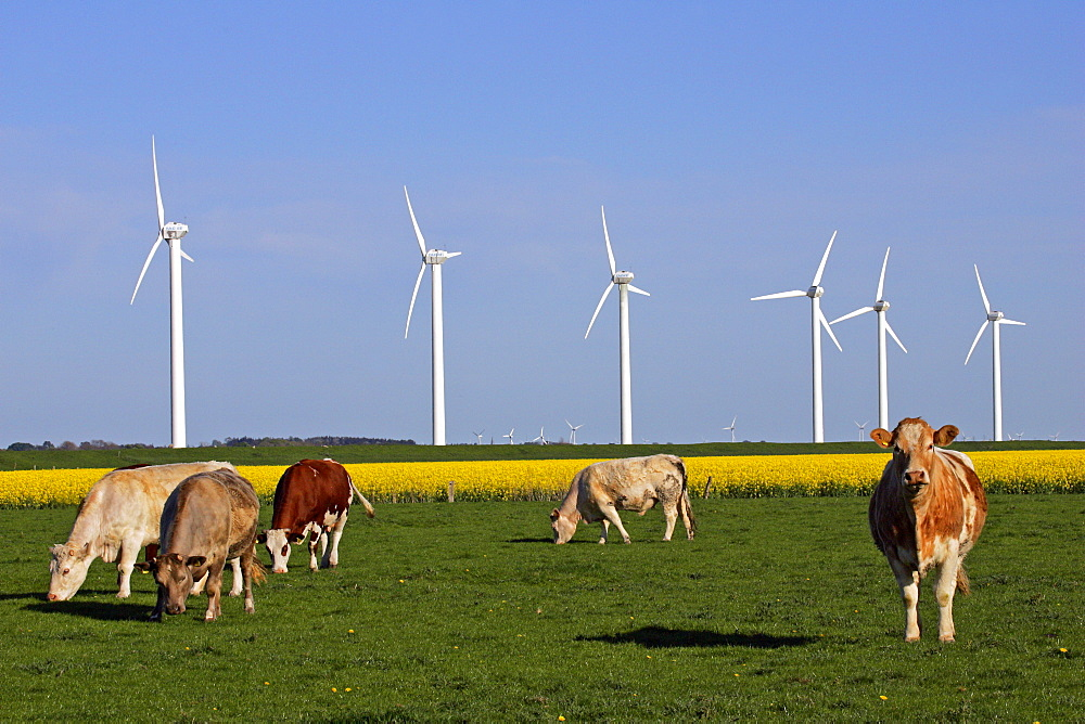 Windmills with a cattle herd in the foreground and a flowering rapefield - wind engines - wind generators - North Friesland Schleswig-Holstein Germany Europe
