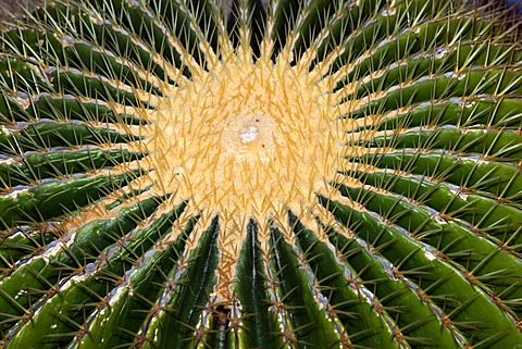 Mother-in-laws seat - cactus (Echinocactus grusonii)