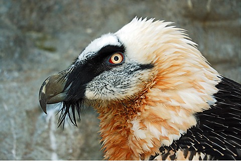 Bearded Vulture (Gypaetus barbatus), captive, resettlement project