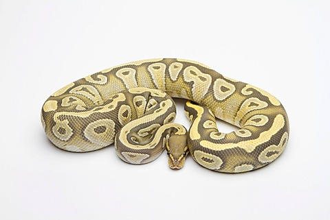 Hypo Mojave Ball Python or Royal Python (Python regius), female