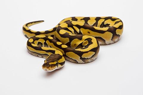 Tiger Phantom Ball Python or Royal Python (Python regius), female