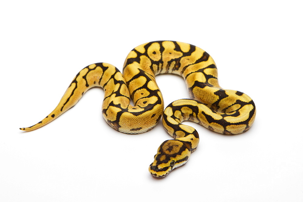 Spider Phantom Yellow Belly Ball Python or Royal Python (Python regius), male