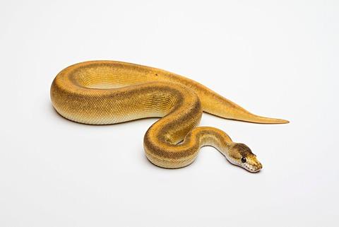 Champagne Cinnamon Ball Python or Royal Python (Python regius), female